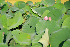 Lotus flower field Royalty Free Stock Photos