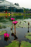 Lotus flower floating on pond. Lotus flowers on the pond stock images