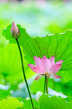 Lotus flower and flower bud Stock Photography