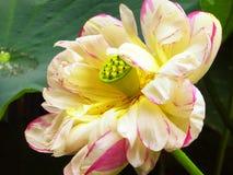 Lotus flower flowering inside Guyi garden Stock Photos