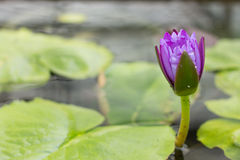 Lotus flower in a Flowerpot Stock Photo