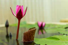 Lotus flower in a Flowerpot Royalty Free Stock Image