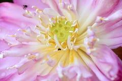 Lotus flower. Royalty Free Stock Image