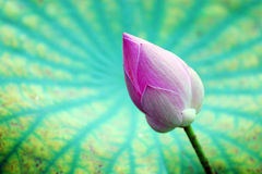 Lotus flower in front the leaf Stock Images