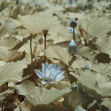 Lotus flower and fruit ----Infrared photography Royalty Free Stock Photo