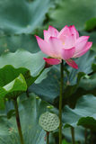 Lotus Flower in full bloom Royalty Free Stock Photography
