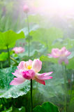 lotus flower in full bloom in the drizzle Stock Photography
