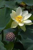 Lotus Flower. Fully open, in afternoon light Royalty Free Stock Image