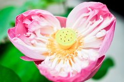 Lotus flower. In the garden Stock Image