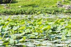 Lotus-flower garden Royalty Free Stock Image
