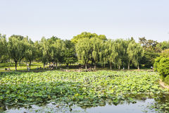 Lotus-flower garden Stock Images