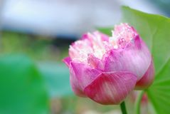 Lotus flower in the garden stock image