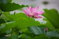 Lotus. Flower in garden,summer Stock Image