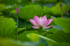 Lotus flower Stock Images