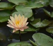 Lotus Flower Glowing Morning Light rosa fotografia stock libera da diritti