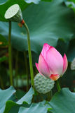 Lotus flower going to bloom. Lotus flower is going to bloom with green lotus leaf in pond Stock Images
