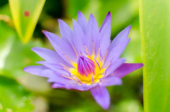 Lotus flower with green background Royalty Free Stock Photography