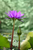 Lotus flower with green bokeh Royalty Free Stock Image