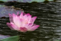 Lotus Flower and green leaf Stock Images