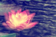 Lotus Flower and green leaf Royalty Free Stock Photo