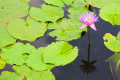 Lotus flower with green leaf Royalty Free Stock Photo
