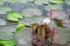 Lotus flower on green leaf Stock Images