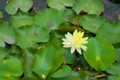 Lotus flower on green leaf Stock Photo