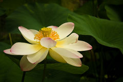 Lotus flower and green leaves Stock Images