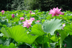Lotus flower with green leaves Stock Images