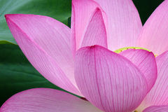 Lotus flower with green leaves Stock Image