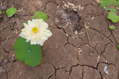The Lotus flower Growing on The Dry Cracked Soil with Rice Seedlings Royalty Free Stock Photos