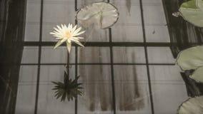 Lotus flower Royalty Free Stock Image