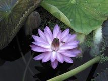 Lotus Flower ha circondato da Lily Pads Immagine Stock Libera da Diritti