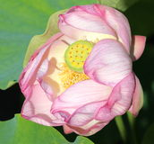 Lotus flower heart. It is flowering time for lotus flowers in Montreal Botanical Garden Stock Images