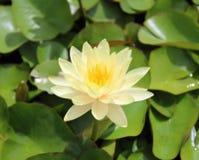 Lotus Flower hermosa con la hoja verde adentro en la charca foto de archivo