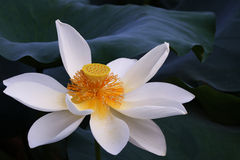 Lotus flower(Hindu Lotus) Royalty Free Stock Photo