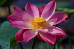 Lotus Flower i otta Royaltyfri Fotografi