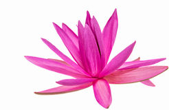 Lotus Flower III Stockfotografie