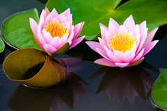 Lotus Flower. Image of a lotus flower on the water Stock Image