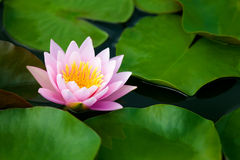 Lotus Flower. Image of a lotus flower on the water Stock Images