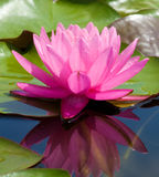 Lotus Flower. Image of a lotus flower on the water Royalty Free Stock Images