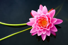 Lotus Flower. Image of a lotus flower on the water Royalty Free Stock Photos