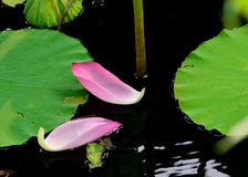 Lotus flower. Is a important symbol in Asian culture.Photo taken on: July 19th, 2014 Royalty Free Stock Photography