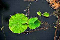 Lotus flower. Is a important symbol in Asian culture.Photo taken on: July 19th, 2014 Stock Photography