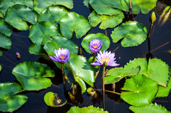 Lotus flower, India. Purple water lilies lotus flowers on a pond Royalty Free Stock Images