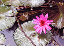 Lotus Flower. Is indigenous to India , australia and vietnam Royalty Free Stock Photos