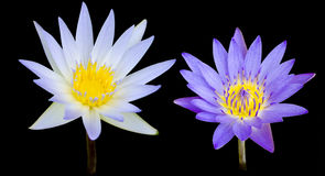 Lotus flower. Isolate with black background Stock Images