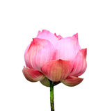 Lotus flower isolated Royalty Free Stock Photo