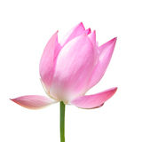 Lotus flower isolated on white Stock Images