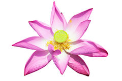 Lotus flower isolated on white Royalty Free Stock Photos